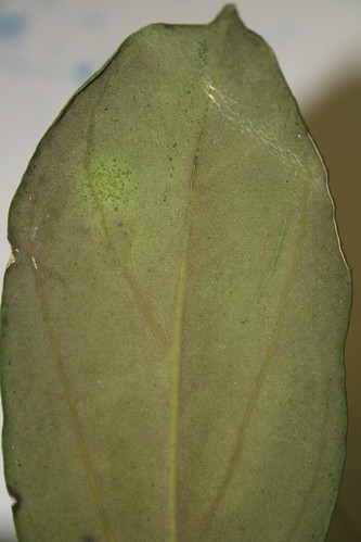 Hoya forbesii brown/red hairs underside leaf