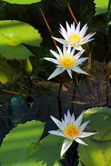Nymphaea L.cv.Dauben (...DoN...) Tags: white flower macro green yellow waterlily osaka botanicalgarden nymphaea eos7d macroflowerlovers