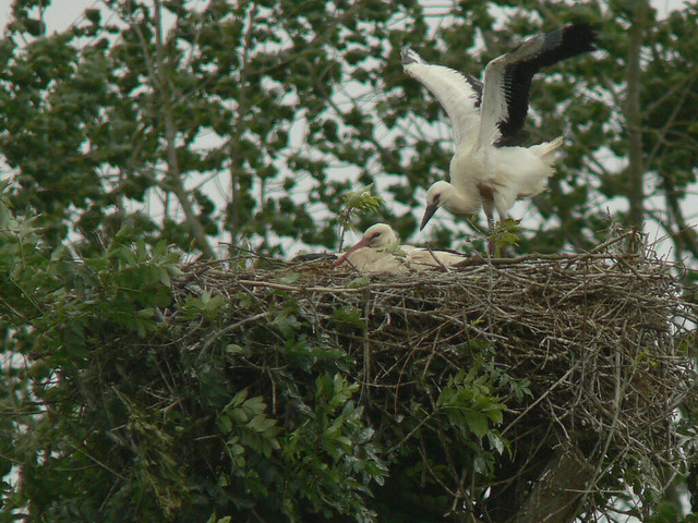 Adult and young Stork on nest