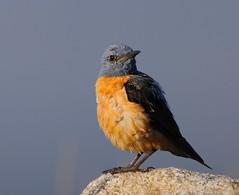 Melro-das-rochas / Rock thrush (anacm.silva) Tags: wild bird portugal nature birds nikon wildlife natureza aves ave vidaselvagem serradafreita monticolasaxatilis anasilva rockthrush melrodasrochas