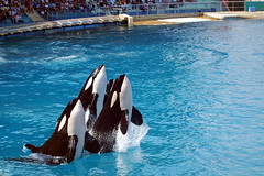 (Caveni) Tags: orca killerwhale marineland orque