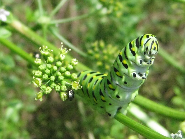 swallowtail caterpillars