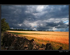 Among The Fields Of Barley. (Picture post.) Tags: trees summer sunlight green nature barley clouds landscape elder crops paysage arbre soe drystonewall platinumheartaward artistoftheyearlevel3 artistoftheyearlevel4 artistoftheyearlevel5