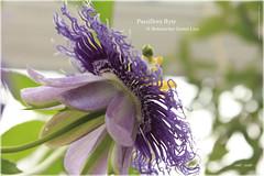Passiflora Byte 3 (peter pirker) Tags: trip flower macro yellow canon linz austria flora gelb ausflug blume makro violett deatil peterfoto eos550d passiflorabyte sterreichn