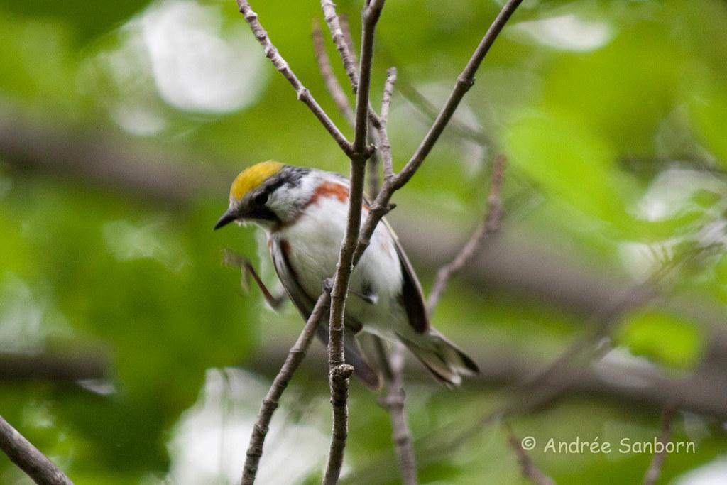 Chestnut-sided Warbler (Dendroica pensylvanica)-3.jpg