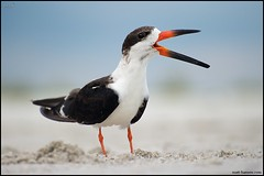 Black Skimmer (www.matthansenphotography.com) Tags: ocean bird beach nature animal wildlife beak waterbird calling stormcloud avian blackskimmer rynchopsniger matthansen