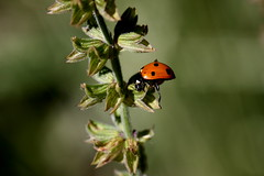 Ladybug Stretch (Bsandtana) Tags: summer macro insect ladybird ladybug