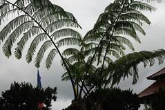 Bali, Buddhismus - Vihara Dharma Giri (25); Baumfarn (dendroaspis2008) Tags: trees bali tree indonesia rboles boom arbres rbol albero bume arbre rvore baum trd indonesien aa   baumfarn