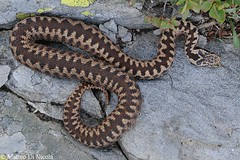 Vipera berus #5, female - pattern (Matteo - documentation of snakes) Tags: wild italy mountain mountains alps female europa europe italia european pattern reptile snake natura document common viper snakes alp alpi montagna lombardia documento reptiles adder poisonous venomous europea selvatico vibora serpente reptilia vipera comn vbora viperaberus berus rettile veleno serpenti femmina kreuzotter squamata viperidae vipre livrea velenoso viperine marasso obecn pliade viperinae matteodinicola wwwmatteodinicolacom zmije ofide hugormen