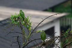 Papagaios (Robvini) Tags: cidade brasil chuva portoalegre ave rs rvore telhado papagaio cidades papagaiocharrua