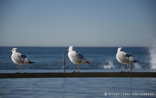 Three Gulls by alison lyons photography