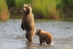 Cub with Mother Brown Bear (toryjk) Tags: bear alaska cub brownbear babybear katmai