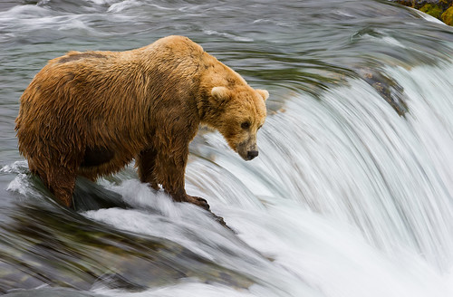 Blonde Bear At The Falls