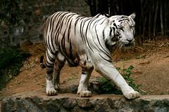 The White Tiger (Laughingbudai) Tags: wild india zoo caged canon350d beast hunter predator chennai jai whitetiger ferocious laughingbuddha arignarannazoologicalpark