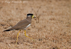 The Yellow-wattled Lapwing  (Vanellus malabaricus) (Tony Fernando) Tags: canon shot photos snap images photographs lapwing l srilanka f56 ef stockphoto the stockphotography 400mm vanellus stockimagery vanellusmalabaricus yellowwattled malab srilankanimages visitsrilanka2011 tonyfernando