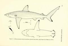 Anglų lietuvių žodynas. Žodis carcharhinus obscurus reiškia carcharias obscurus lietuviškai.