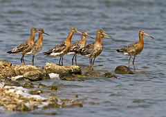 Blk-t-g_5038 (Peter Warne-Epping Forest) Tags: summer estuary migration essex godwit limosa blacktailed