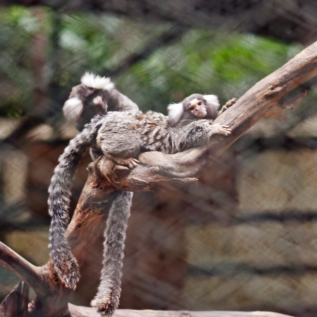 "Marmosets (aka ""Pocket Monkeys"")"