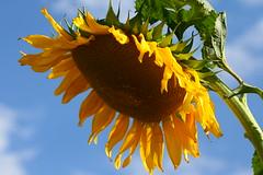 Sunbrella (~DesertShooter~) Tags: blue sky plant flower clouds garden petals large mammoth sunflower growing