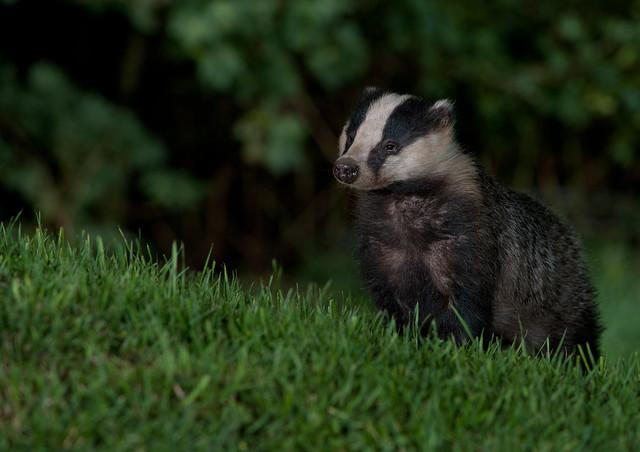 badger 10