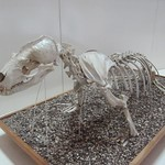 "Sea Lion Skeleton <a style=""margin-left:10px; font-size:0.8em;"" href=""http://www.flickr.com/photos/14315427@N00/6009062619/"" target=""_blank"">@flickr</a>"