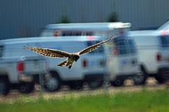 Raptor (formatcdn) Tags: winnipeg hawk manitoba raptor handheld fujis5 tamronsp500 joyofphotography