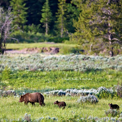 Grizzly 610 and Cubs (Daryl L. Hunter - The Hole Picture) Tags: famous cubs wyoming coy sow jacksonhole grizzlybear grandtetonnationalpark 610 cubsoftheyear