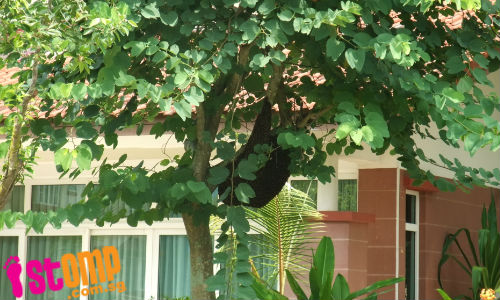 Trouble swarming ahead? 'Huge' bee hive sighted at Bukit Panjang