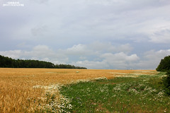 Wheat and Chamomile [EXPLORED] (grce) Tags: field wheat chamomile