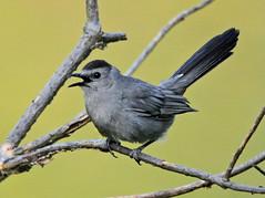Gotcha! (VA Wild Rose) Tags: nature birds wildlife catbird greycatbird dumetellacarolinensis photocontesttnc11