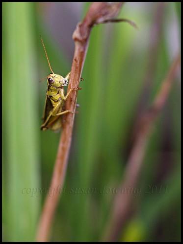 Grasshopper {sh 53}