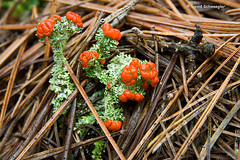 British Soldiers Lichen and Pine Needles (schwaegler) Tags: newhampshire nh lichen orford indianpond cladoniacristatella britishsoldierslichen