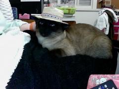 Kiki with her hat (congalaconga) Tags: hat cat chat photobooth siamese gata neko