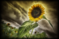 The Fractailus Heart of the Sunflower (Frank C. Grace (Trig Photography)) Tags: sunflower field farm beaglenestfarm berkley ma massachusetts lensflare heart clouds dramatic sky hdr photomatix tonemapped beauty yellow green nature summer newengland frankcgrace trigphotography pentax k5 lakeville wideangle handheld raw bonnie flower love pentaxian puppetwarp surreal dedicated gift fractailus filter redfield