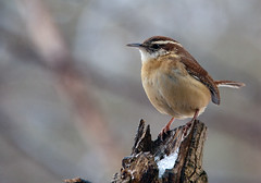 CarolinaWren-perched