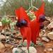 Fabaceae>Swainsona formosa Sturt's Desert Pea DSCF4356