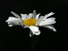 floating again (SS) Tags: light italy white black flower macro nature beautiful yellow composition contrast photography focus view angle pov details perspective may favorites floating front powershot explore page daisy framing fiore comments lazio iphone a480 fleursetpaysages