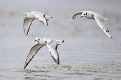 Bonaparte's Gull Patrol (Jeff Dyck) Tags: birds gull gulls group manitoba stonewall marsh bonapartesgull oakhammockmarsh birdinflight bonapartes coth jeffdyck oakhammock specanimal avianexcellence chroicocephalusphiladelphia coth5