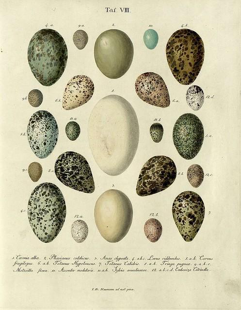 Die Eier der Vögel Deutschlands g, 1818