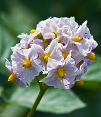 _DSC2446.jpg (aeschylus18917) Tags: flowers flower macro nature japan season spring nikon seasons nightshade  saitama poison nikkor  hanno poisonous solanum saitamaken  105mm solanaceae  105mmf28 deadlynightshade  solanales 105mmf28gvrmicro 200400mmf4gvr saitamaprefecture asterids solanumlyratum d700 nikkor105mmf28gvrmicro  nikond700 solaneae danielruyle aeschylus18917 danruyle druyle    hann hannshi solanoideae  200400mmf
