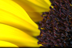 Big yellow Sunflower close up (Cherry Harrison) Tags: light shadow summer black flower detail macro texture nature up yellow stem nikon focus soft dof close head flash perspective creative 11 petal bee sunflower pollen tamron 90mm scent strobe helianthus d5000