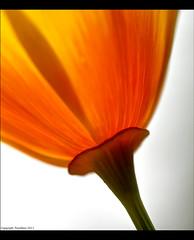californian poppy (tandikes) Tags: orange macro green yellow petals stem glow poppy glowing californianpoppy californian