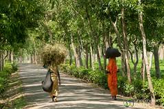 Women With Bundles on Head - Madhabpur Lake, Bangladesh (uncorneredmarket) Tags: women bangladesh bundles dpn teaestate teagardens srimongal sylhetdivision madhabpurlake headbundles
