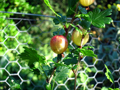sisuk092berries