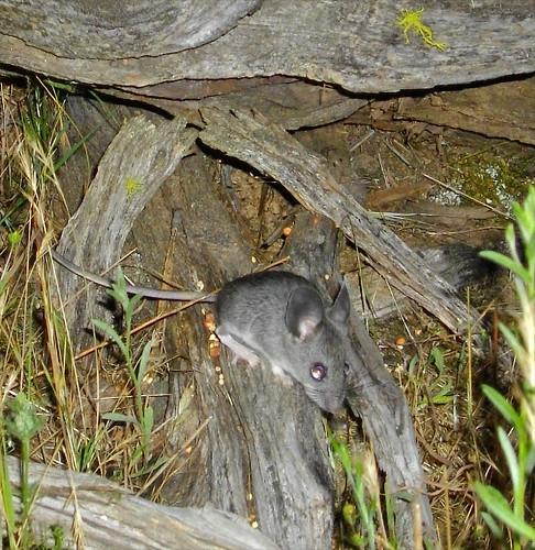 pinyon mouse