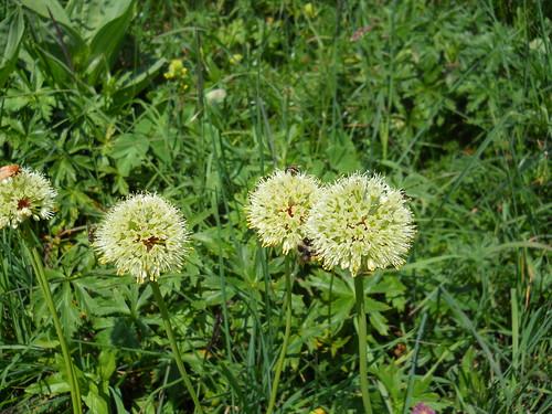 Alpine Leek (Allium victorialis)