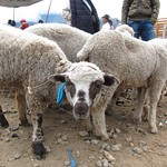 "Baaa <a style=""margin-left:10px; font-size:0.8em;"" href=""http://www.flickr.com/photos/14315427@N00/5928211458/"" target=""_blank"">@flickr</a>"