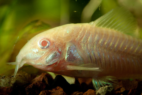 Category:Corydoras - The Free Freshwater and Saltwater ...