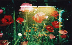 Wallflowers (angela marlaud) Tags: flowers light red green film lomo lca xpro lomography doubleexposure crossprocess toycamera multipleexposure brickwall poppies wallflower