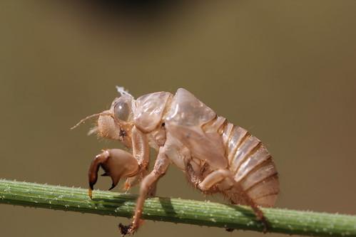 cicada orni exuvia